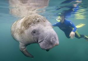 florida manatee sea life